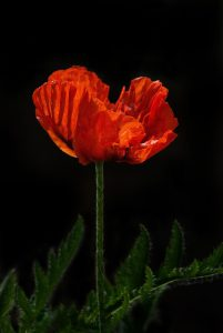 Poppy Remembrance Day Lest We Forget WWI