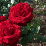 Roses at Wightwick Manor 52 Ancestors in 52 Weeks Thankful